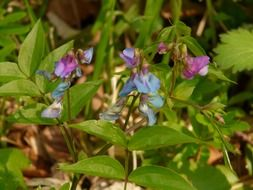 wild plant with blue and purple flowers