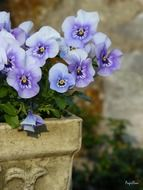 violet pansy in the flowerbed