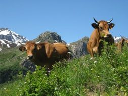 brown cows on a mountain meadow