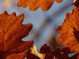 Closeup photo of oak leaves