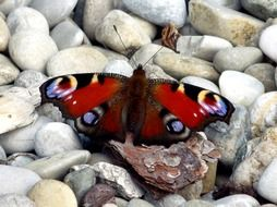 peacock butterfly on pebbles