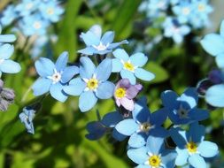 cute blue forget-me-not flowers