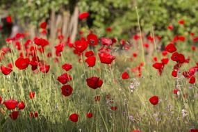 bright red poppies field
