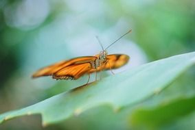 dryas julia butterfly on leaf close-up