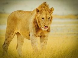Lion in the Serengeti National Park