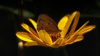 brown butterfly on a yellow flower closeup