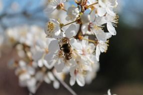 bee on spring apple