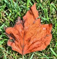 dried autumn leaf on the grass