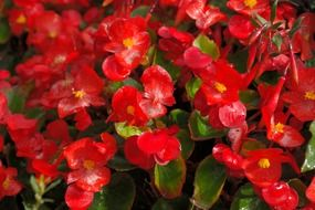 ice begonias flowers red flora N4