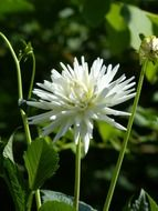 spiny white bud of dahlias