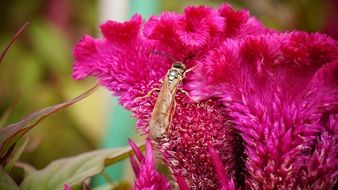 insect on celosia flower