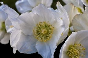 white anemone sylvie flower closeup