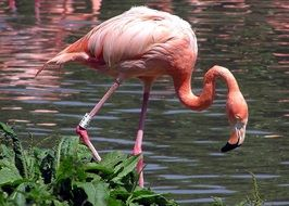 flamingo bird waterfowl