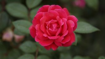 crimson rose flower