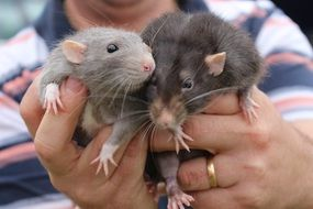 animals rats cute