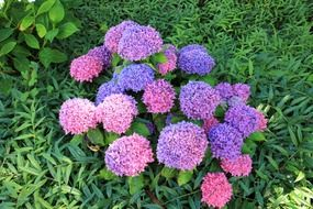 pink and purple hydrangeas on a flowerbed in a garden