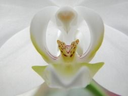 white orchid blossom close-up