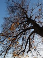 leafless linden in autumn