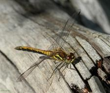 Yellow dragonfly on wood