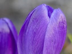 purple crocus flower close-up