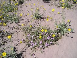 shallow yellow flowers in desert sand