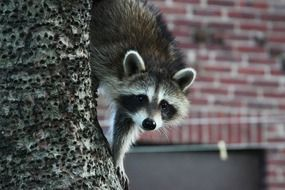 raccoon is a representative of the fauna