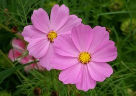 cosmos bipinnatus flowers in the garden