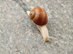 snail slowly walking close-up