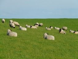 a flock of white sheep grazes in a green meadow on the shores of the North Sea