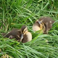 two spotted duckling on green grass