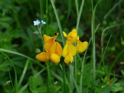 lotus corniculatus is a species of perennial herbaceous plants.