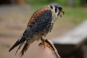 wild bird american kestrel falconry