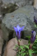 gentian, perennial rock plant in bloom