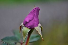 Closed purple rose flower