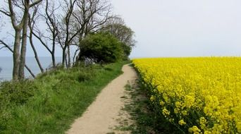 field of rapeseeds on coast of baltic sea, germany, fehmarn