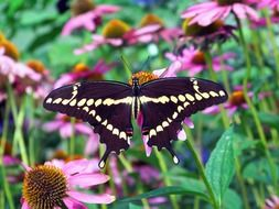 brown butterfly on echinacea flower