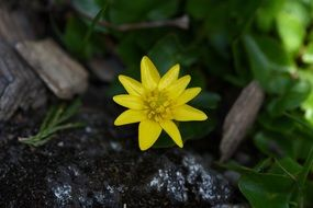 yellow celandine plant flower