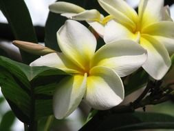 white-yellow frangipani flower