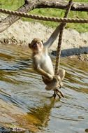 ape monkey on the rope at wildlife