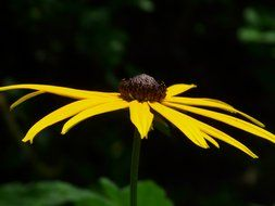 yellow flower echinacea
