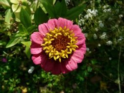 Zinnia is a summer flower