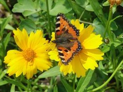 little fox butterfly on a yellow flower