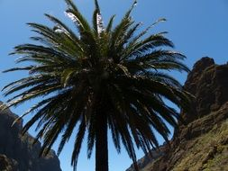 top of date palm among rocks, spain, canary islands