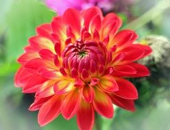 bright bud of dahlias