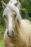 portrait of a purebred white horse