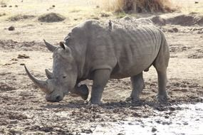 White rhinoceros in the South Africa