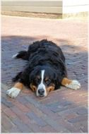 bernese mountain dog obedient companion