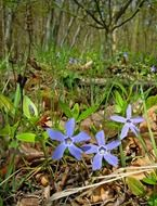 blue primroses on the forest cover