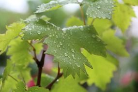 grape leaves in raindrops