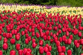 many colorful tulips in spring